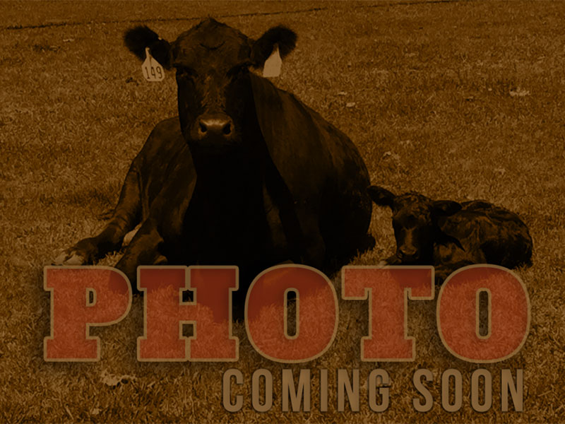 Females for Sale - Gable L Ranch